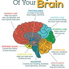 Do you know what the main parts of your brain are responsible for?