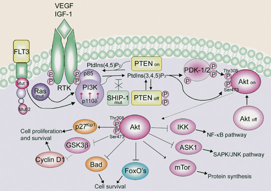 Possible mechanisms leading to PI3K/Akt signaling upregulation in AML cell lines and/or AML blasts
