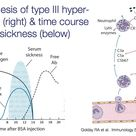 Type III hypersensitivity and time course of serum sickness