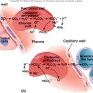 Transport of CO2 in blood