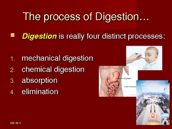 The Digestive System Powerpoint