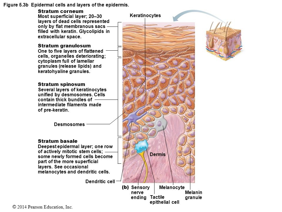 Epidermal cells and layers of the epidermis