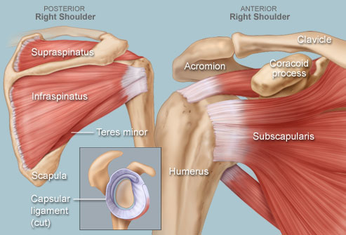 anatomy of the human shoulder | Shoulder Human Anatomy: Image, Function, Parts, and More