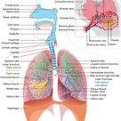Breathing diagram in and out