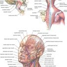 neck muscles anatomy - Google Search