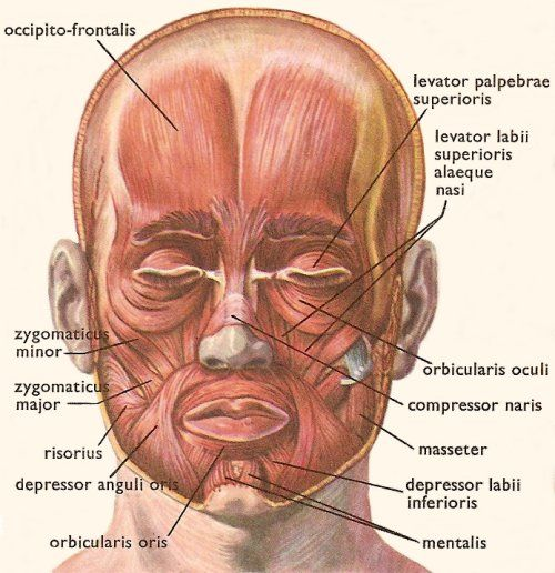Muscles of the head