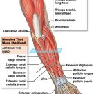 The muscles that move the forearm.
