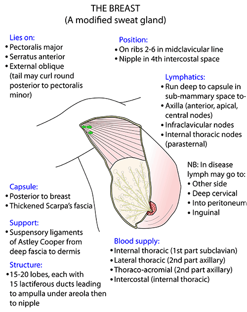 Instant Anatomy - Upper Limb - Areas/Organs - Breast - Topography