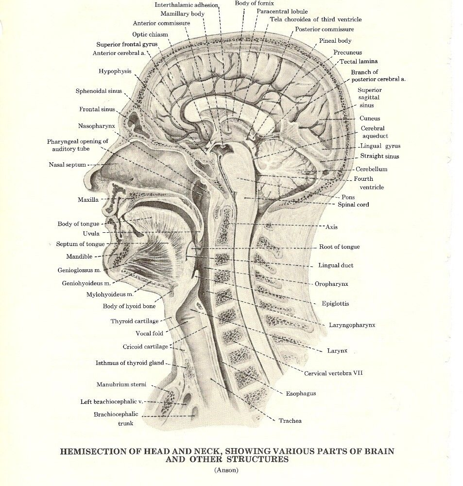 Hemisection of Head and Neck