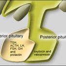 Diagram of Pituitary Gland - The hormones produced by the anterior and posterior lobes of the pituit