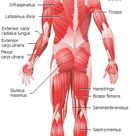 Muscular System back