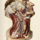 Nicolas Henry Jacob Dissection of the head and neck, cranial and sympathetic nerves, shown in situ.