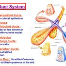 cells of striated ducts - Google Search
