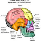 Head and Neck - Areas/Organs - Skull - Lateral view of skull