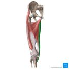 Gracilis muscle aka Musculus gracilis in the latin terminology and part of organs of the female pelv