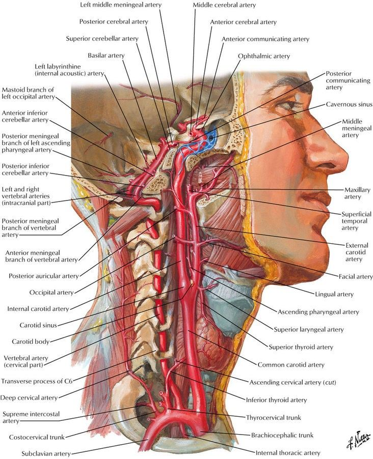 Lateral section of neck