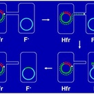 Bacterial Conjugation: Conjugation between Hfr cell and F- cell