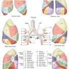 Lung Anatomy Model - Lobes and Segments