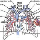 The pulmonary circulation as it passes from the heart. Showing both the pulmonary and bronchial arte