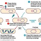 Difference between lytic and lysogenic cycle