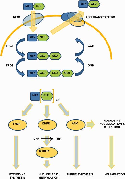 MTX metabolism and mechanism of action.