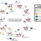 Pyruvate Oxidation & The Citric Acid Cycle