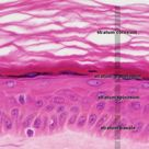 5 layers of the Epidermis - Integumentary System