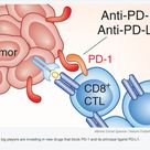 Cancer Immunotherapy:  First PD-1 inhibitor breezes across finish line