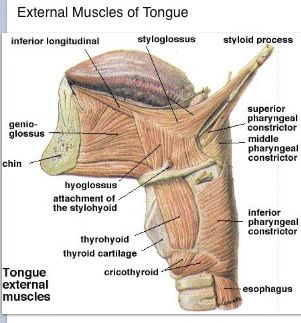External muscles of the tongue
