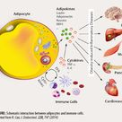 adipocyte structure - Google Search