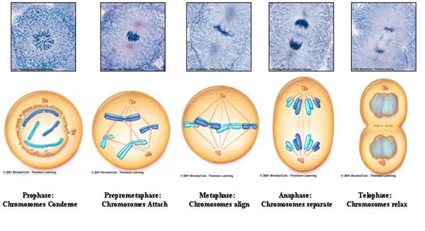 Mitosis is a part of the cell cycle when replicated chromosomes are separated into two new nuclei