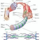The structure of skeletal muscle tissue