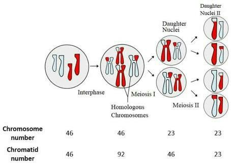 Meiosis is a special type of cell division in sexually-reproducing organisms