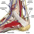 The tarsal tunnel is located behind the bump on the inside of your ankle. A layer of connective tiss