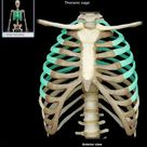 Bones and Bone Markings: The Axial Skeleton flashcards   Quizlet