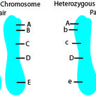 Cell is homozygous for particular gene when identical alleles