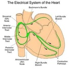 Image Search Results for electrical conduction of the heart