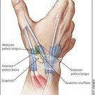 Hand Anatomy. Among humans, the hands play an important function in body language and sign language.