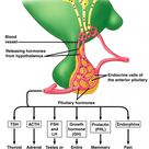 The pituitary glycoprotein hormones are thyroid stimulating hormone (TSH)