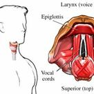 What is laryngitis?The larynx joins the back of the throat to the trachea (windpipe).