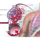 Physiology of the Lower Respiratory System