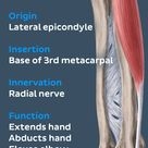 Just like it's big brother, the extensor carpi radialis brevis belongs to the radial forearm #muscle