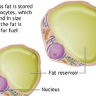 Adipocytes, also known as lipocytes and fat cells, are the cells