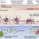 At sites of infection, macrophages, dendritic cells, and other cells that have encountered microbes