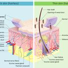 Skin - Wikipedia, the free encyclopedia