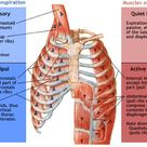 Muscles of Respiration - Physiopedia, universal access to physiotherapy knowledge.