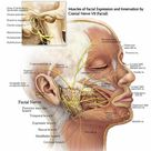 The Path of the Facial Nerve Through the Temporal Bone and the Muscles of Facial Expression and Inne