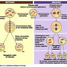 32 Differences between Mitosis and Meiosis