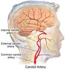 Illustration of the common carotid artery of the neck and it bifurcation