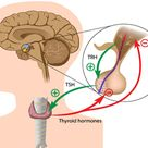 Physiology Info - The Endocrine System
